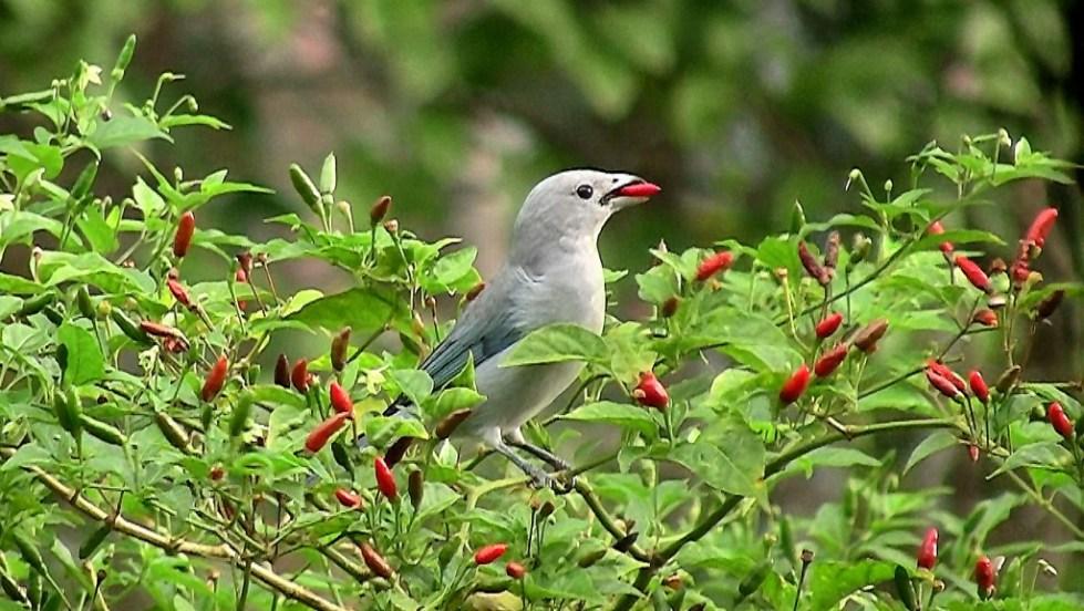 Птицы распространяют семена перца чили