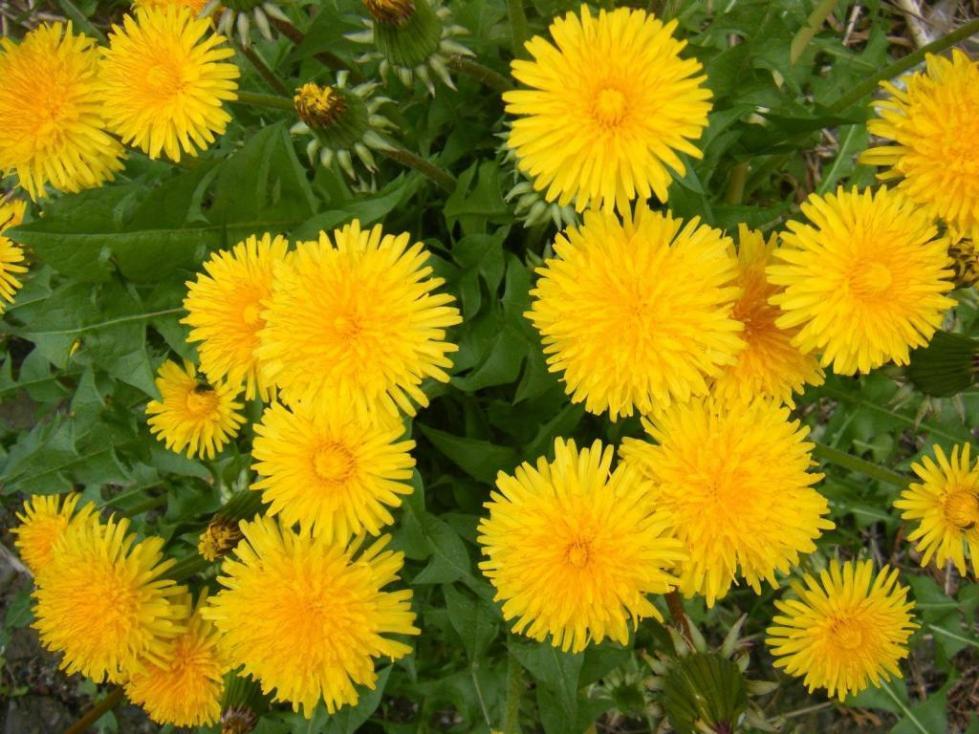 Цветут одуванчики