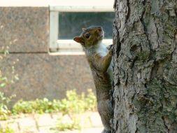 Eichhörnchen am Baum in Montréal