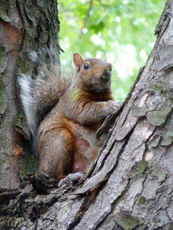 Dickes Eichhörnchen mit empörtem Blick in Montréal