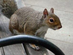 Ein Eichhörnchen aus New York City