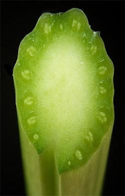 Querschnitt durch einen Meerrettich-Blattstiel