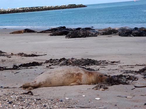 Robben auf Helgoland - machte Lust sich dazu zu legen