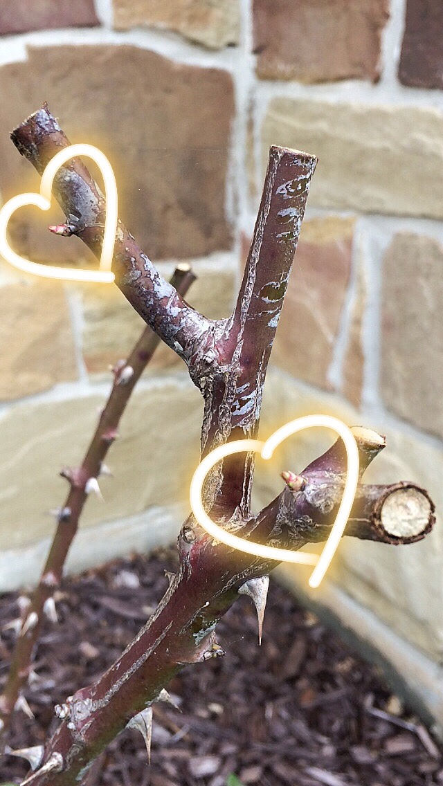 rose bush, pruning, spring sprouts