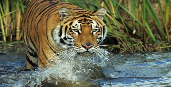 tiger-kanha-national-park