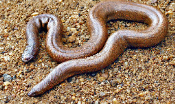 Red Sand Boa