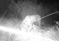 दो महीने में टाइगर खा गया 30 पालतू जानवर