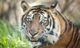 बाघों की मौत पर सख्त हुआ एनटीसीए