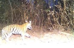 कान्हा टाइगर रिज़र्व बना अनाथ बाघ शावकों का शरणस्थल