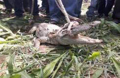 खेत में घुसा 4 फ़ीट लम्बा मगरमच्छ का बच्चा, गाँव वालों ने पकड़ा