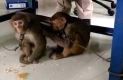 पैसे लूटने के आरोप में 3 बंदर और 3 महिला हिरासत में