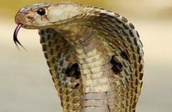 डिंडौरी : कोचिंग में कोबरा, मची भगदड़