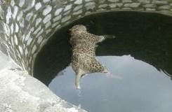 मंडला: कुएं में तैरता मिला तेंदुए का शव, किया दाह संस्कार