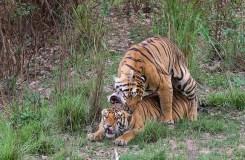 Video : एक बाघिन के प्रेम में उलझे दो बाघ
