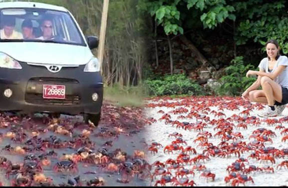 red-crab-migration-on-christmas-island