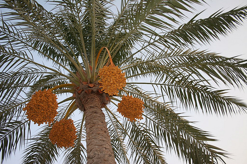 Khawajah Date Palm