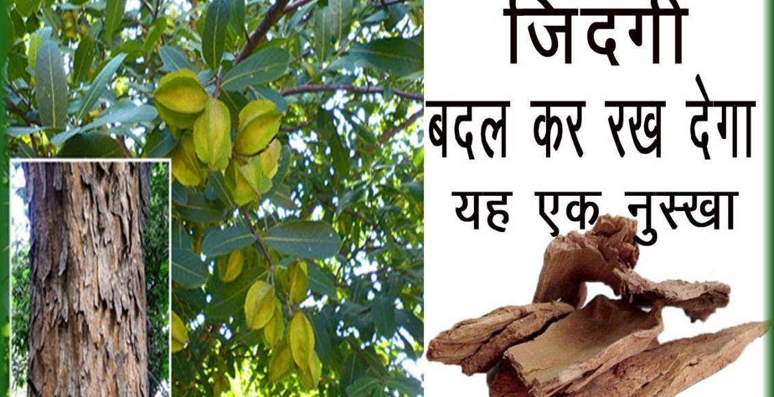 c 43Healthy benefits of the bark of Arjuna tree, these 6 diseases will never happen again in life