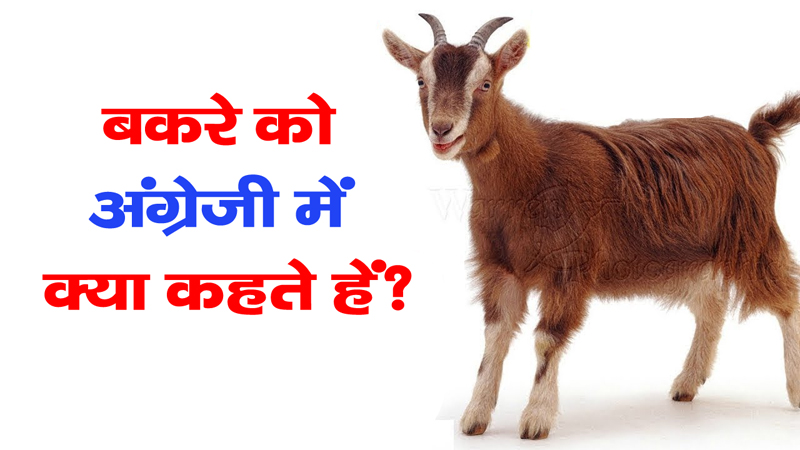 99-of-people-dont-know-what-is-goat-called-in-English-go-answer