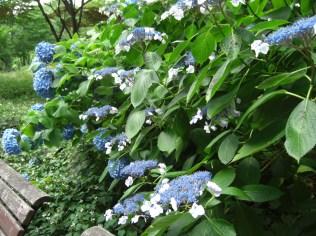 Flower_Hydrangea2_20160611