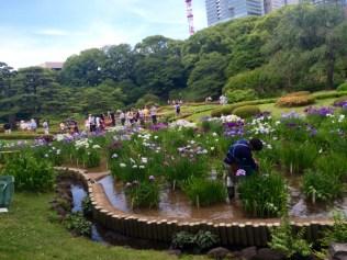 Flower_Iris_2_20160611