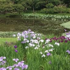 Irises at Ninomaru Garden
