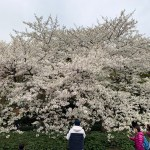 CHERRY TREES IN FULL BLOSSOM (MAR.30, THE EAST GARDEN OF THE IMPERIAL PALACE)