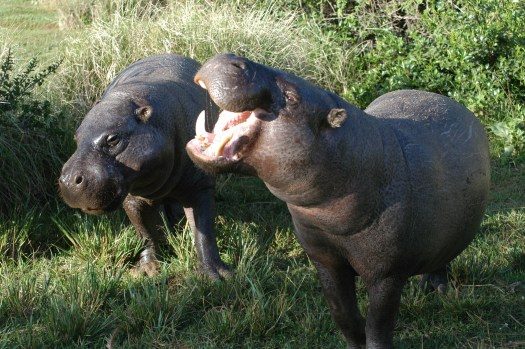 Pygmy Hippo feature image
