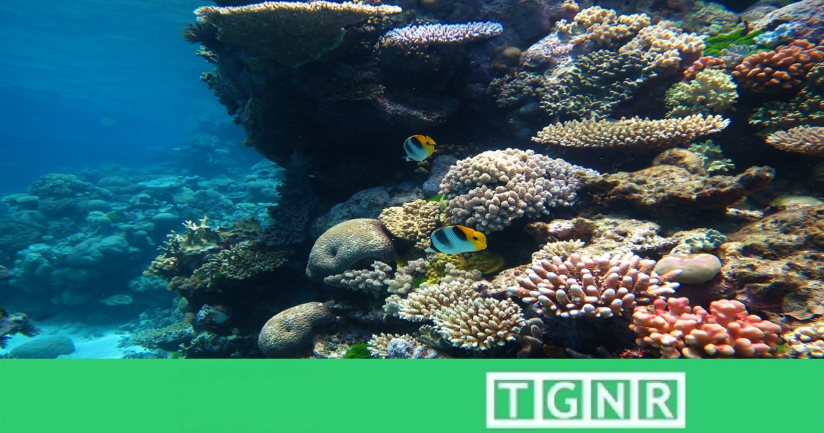 Reseeding and Baby Coral: Sexual Healing for the Great Barrier Reef