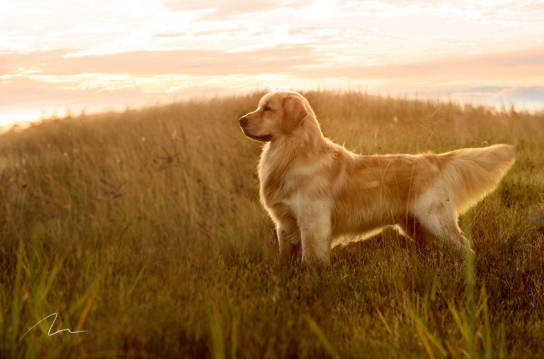 Fotografia do Golden Retriever no por do sol.