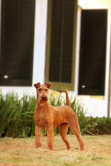 Fotografia cão Lakeland Terrier