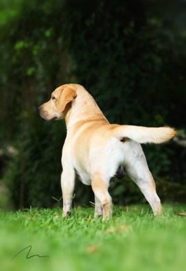 Fotografia de cães da raça Labrador