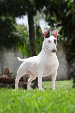 Fotografia de cão da raça Bull Terrier