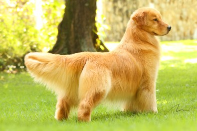 Fotografia de cão Golden Retriever