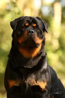 imagem Rottweiler