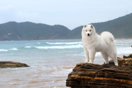 Imagem samoieda na praia