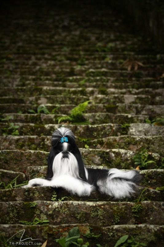 Foto cão raça Shih-Tzu