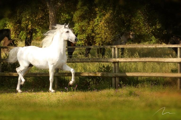 Foto cavalo macho correndo.
