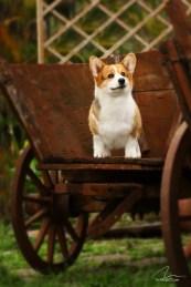 imagem fotografia cão Corgi em carro de fazenda