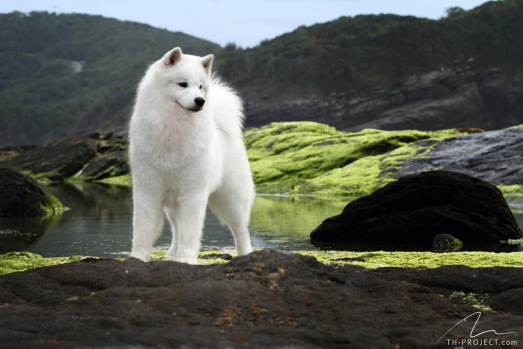 Fotografia de Cães - Samoieda