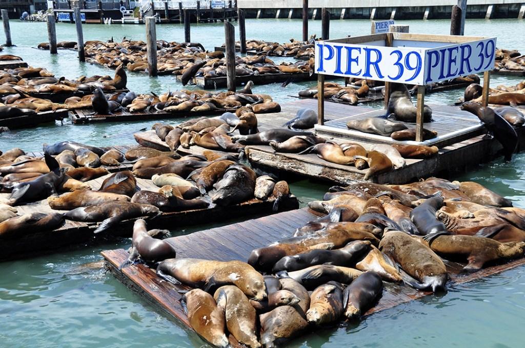 ฝูงสิงโตทะเลที่ท่าเรือเพียร์ 39 (Pier 39)