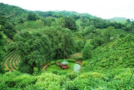 Tee-Plantagen beim Laolee Hill Resort in Doi Wawee, Thailand
