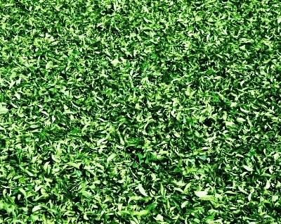 Oolong N°12 frisch von der Plantage, vor der Tee-Fabrik in Doi Mae Salong