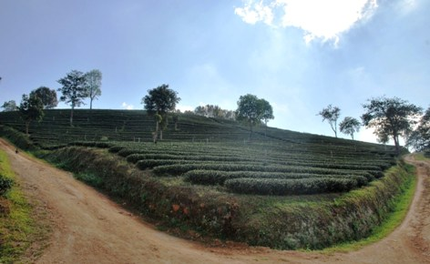 Tee-Hang in Doi Mae Salong: Chinesische Teeplantagen-Ästhetik