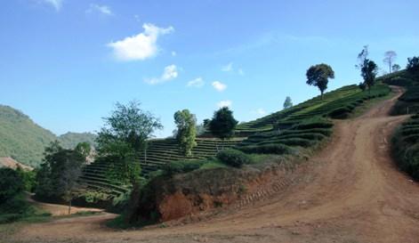 Teeanbau in Doi Mae Salong, Thailand: Teeplantagen-Perspektive