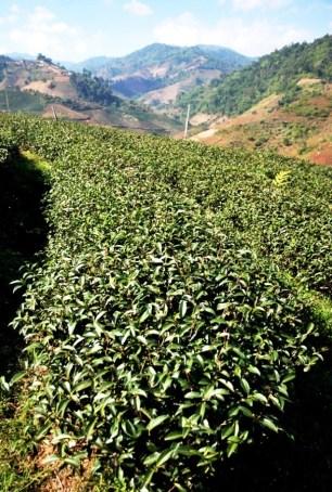 Doi Mae Salong, Thailand: Reihe Tee-Stauden mit Background