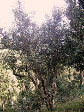 Großer Teebaum in Pang Kham