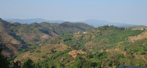Teehänge mit Berglandschaft im Hintergrund bei Doi Mae Salong
