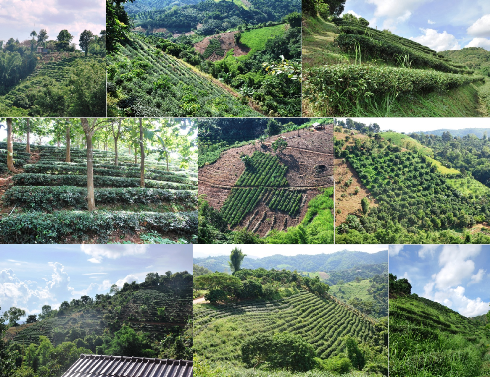 Tee-Gärten in Ban Sie Phan Rai, Doi Tung, Collage