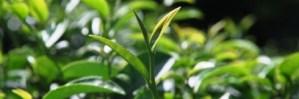 Jin Xuan Oolong Nr. 12 im Tee-Garten auf dem Doi Tung