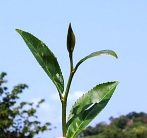 Cing Xin Tee-Kultivar, oberste Blätter + Spitze, Feb 2013, Doi Mae Salong, Nordthailand